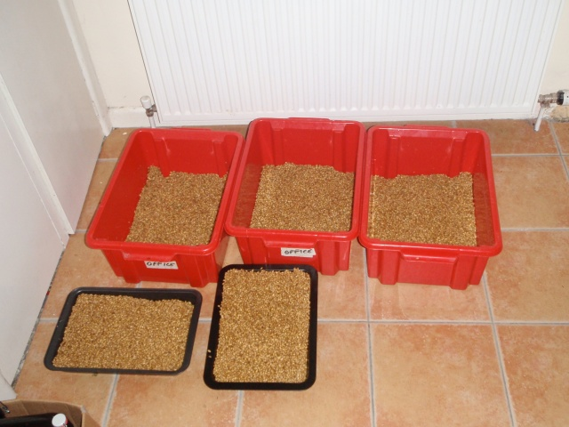 barley in germination boxes